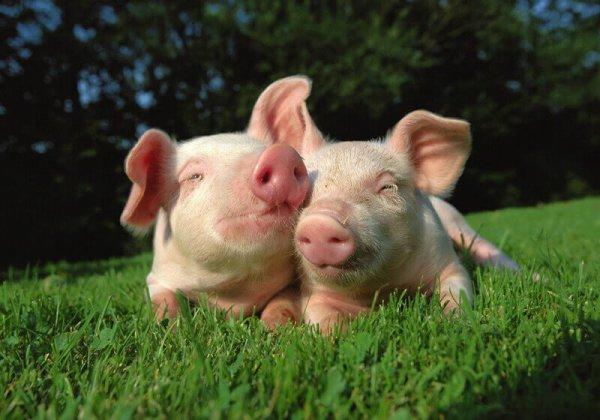 Playful Piglets