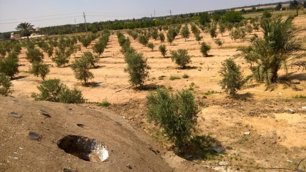 The Olive Fields are Growing Stronger .. And So Are We..