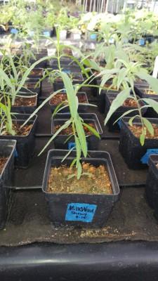 Milkweed (Asclepias)