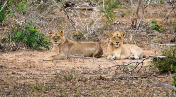 lions, lion, africa