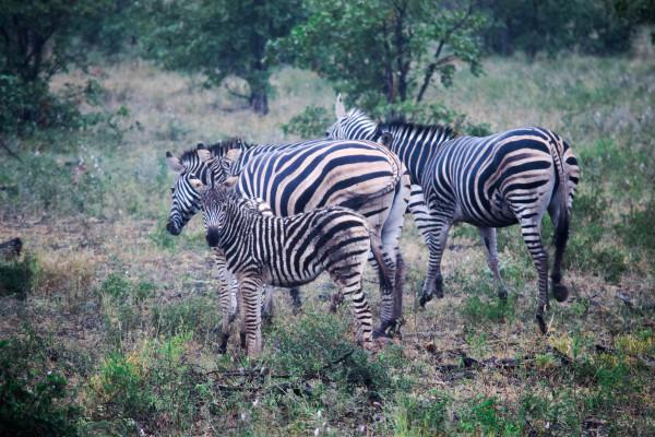 zebra, africa, travel, photography