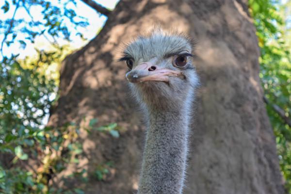 ostrich, travel, safari, africa