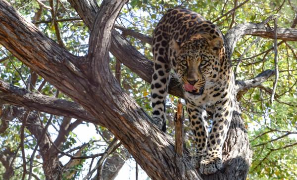 leopard, travel, africa