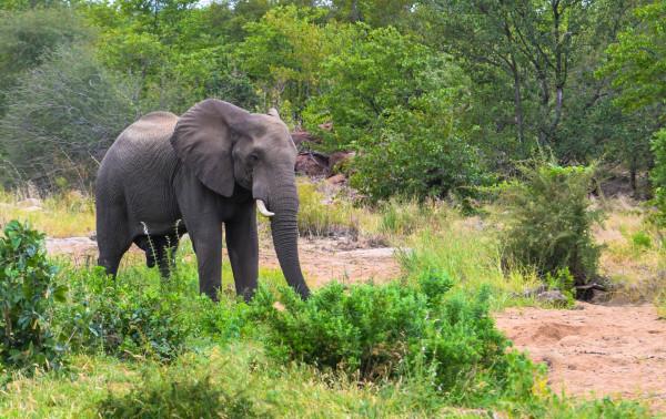 Elephant Bull in Kruger