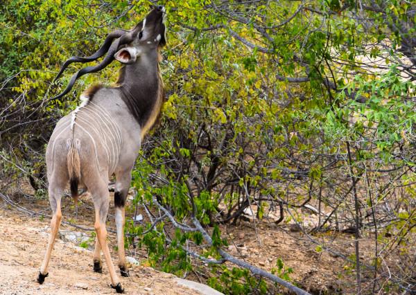 kudu, animal, africa, wild