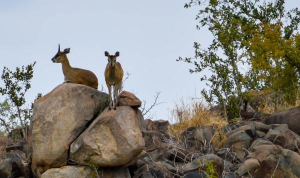 Klipspringer pair in Kruger National Park