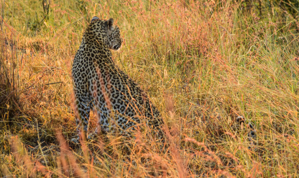 Leopard in Kruger 2