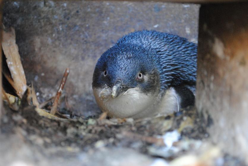 奥玛鲁蓝企鹅栖息地