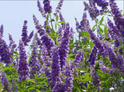 Vitex use for Pregnancy, Luteal Phase Defect and More