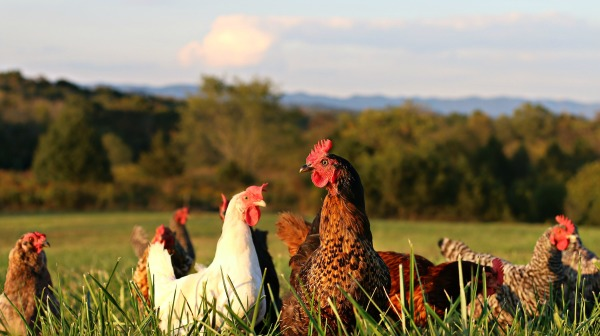 Chickens In Pasture Field