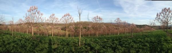 Beautiful Spring Paulownia Flowering on My Plantation