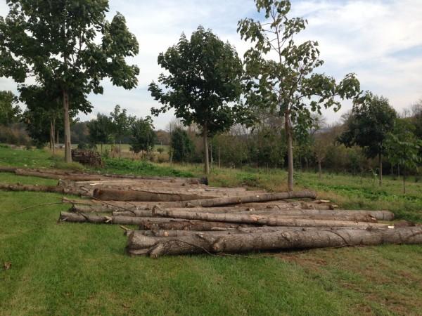 Paulownia logs ready to saw into lumber