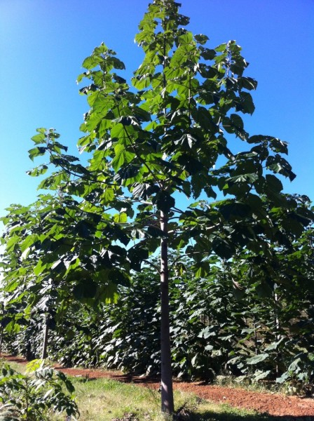 2 Year Old Paulownia Tree in Summer on my Plantation