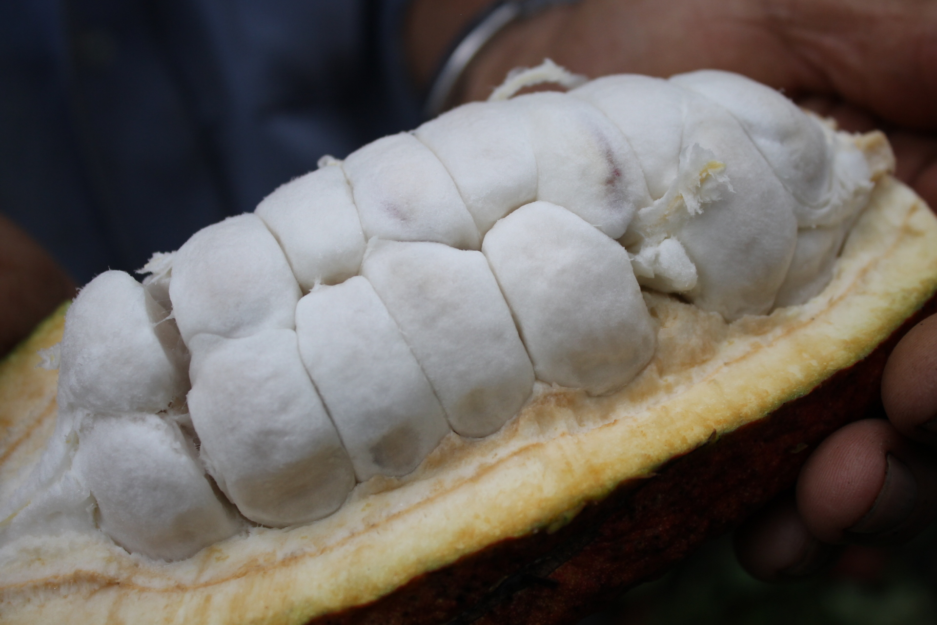 Taking the best of Colombian cacao biodiversity to the world