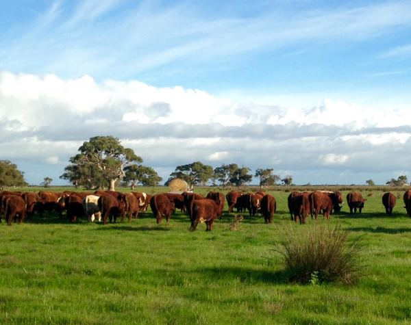 Telang Pastoral grass fed beef