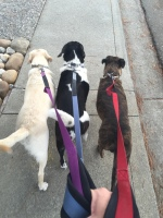 Leash training, teaching dog not to pull on leash