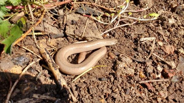Slow-worm (Anguilis fragilis)