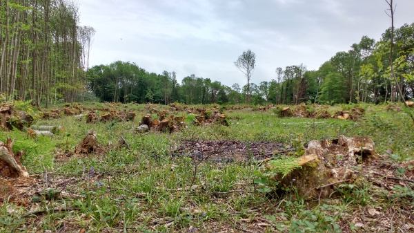 Recently coppiced woodland in Maidstone