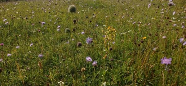 Chalk grassland meadow, Lydden