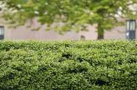Blooms Gardening - Ticehurst Hedge Cutting