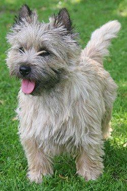 Cairn Terrier - www.yourpurebredpuppy.com