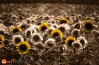 Composite of a sunflower field in retro look