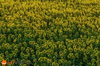 Field of turned away sunflowers in bird view