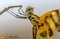 Close up macro photo of a gorgeous yellow dragonfly