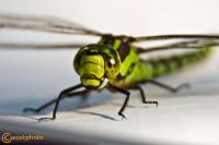 Yellow and green big dragonfly in a macro close-up
