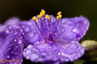Close-up of a wet purple flower blossom