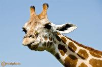 Giraffe at the safari park in Palm Beach, Florida, USA