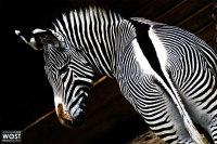 Zebra at the zoo Hellbrunn in Salzburg, Austria
