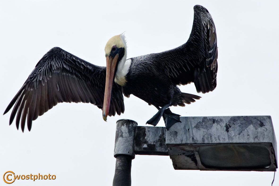 Pelican spreading its wings in Lantana, Florida/USA