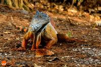 Orange bluish iguana at Wakodahatchee wetlands in Delray Beach, Florida, USA