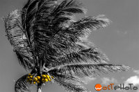 Composite of a palm tree in the wind in black and white plus color