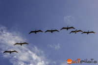 Pelicans flying in formation in Lantana, Florida, USA
