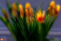 Glowing Tulips