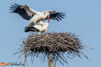 White storks of Fagagna, Italy