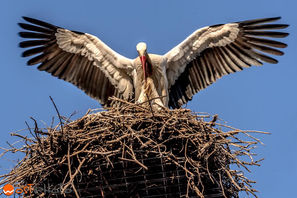White storks of Fagagna nesting