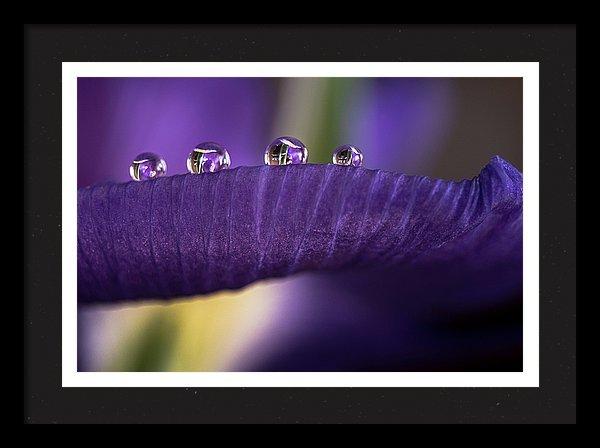 Drops on an iris petal