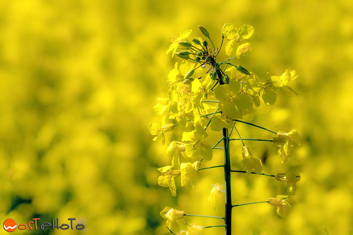 Yellow canola field in Fagagna/Italy