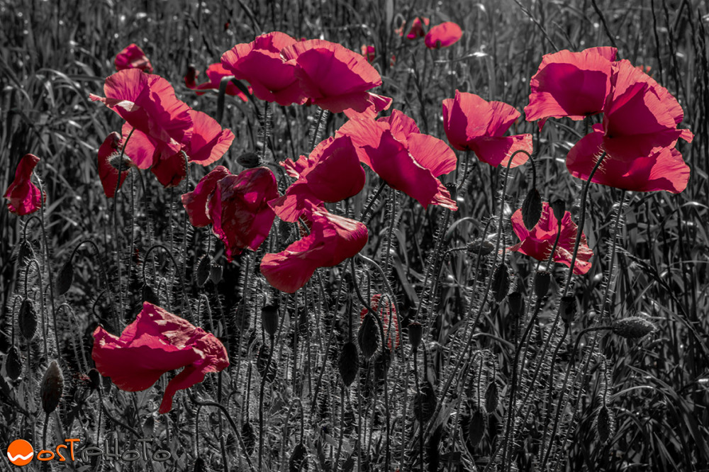 Composite of poppies in a field in pink