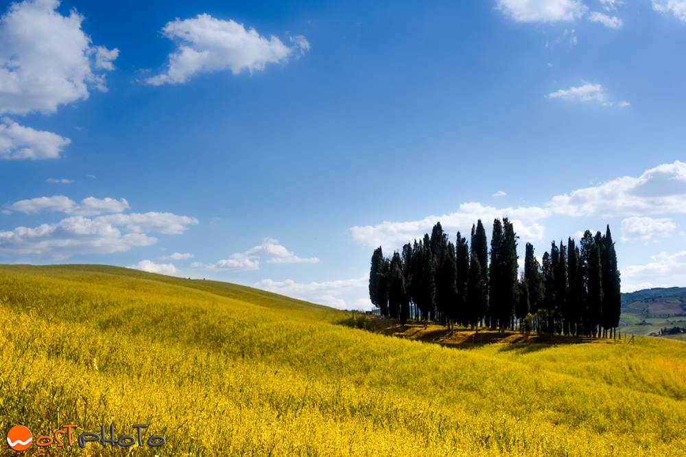 Most famous group of cypresses in Val d'Orcia, Tuscany/Italy