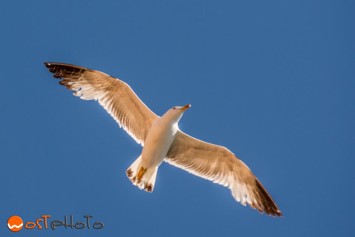Capri bird