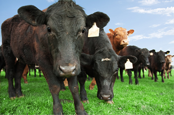 Livestock Risk Protection - LRP