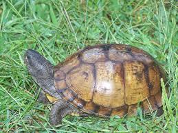 Box Turtle Baby