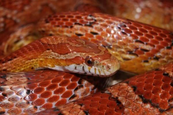 Louisiana Corn Snake - Gravedigger