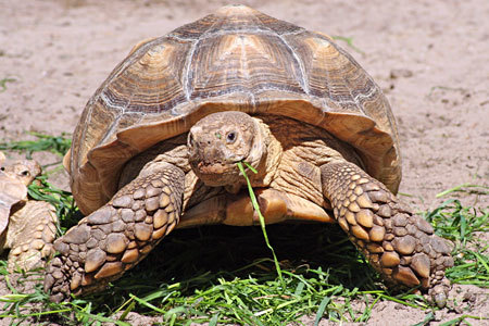 Adult Spur Thigh Tortoise