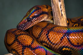 Kaa - Brazillian Rainbow Boa
