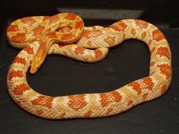 Amelanistic Corn Snake - Candy